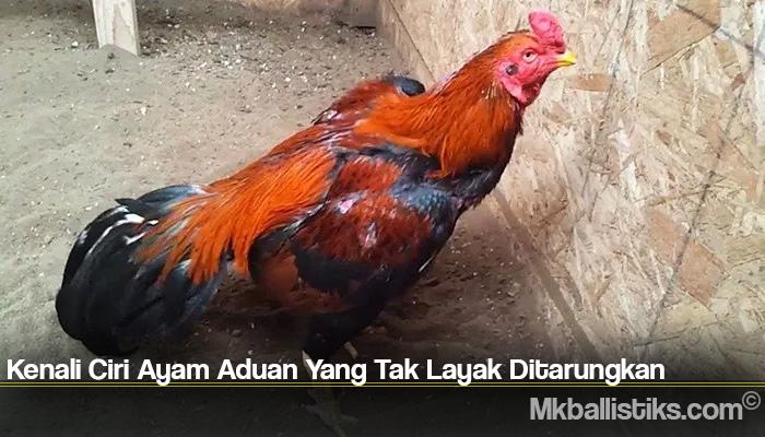 Kenali Ciri Ayam Aduan Yang Tak Layak Ditarungkan