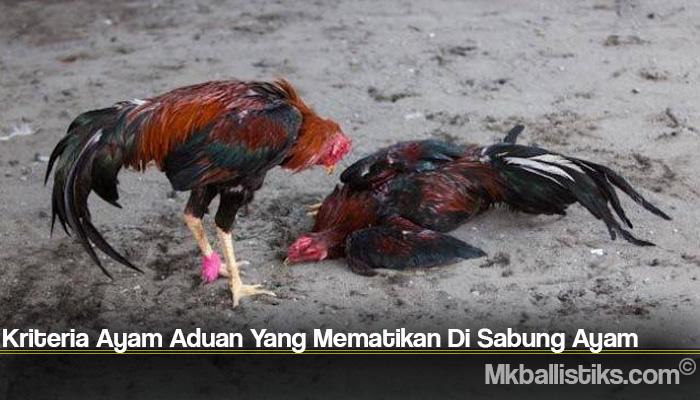 Kriteria Ayam Aduan Yang Mematikan Di Sabung Ayam