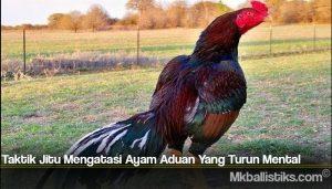 Taktik Jitu Mengatasi Ayam Aduan Yang Turun Mental