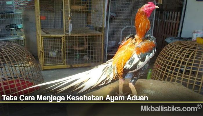 Tata Cara Menjaga Kesehatan Ayam Aduan